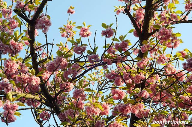 Kirschblüten am Hohenzollernplatz