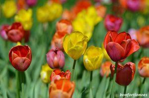 12-05-01-tulipan-01.jpg