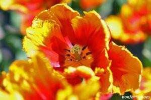 12-05-01-tulipan-02.jpg