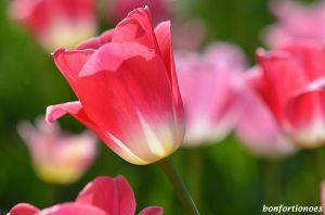 12-05-01-tulipan-03.jpg