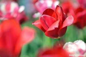 12-05-01-tulipan-06.jpg