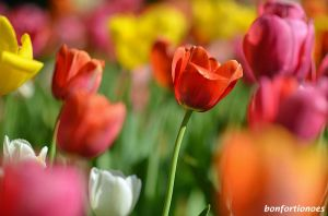 12-05-01-tulipan-07.jpg