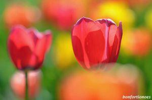 12-05-01-tulipan-08.jpg