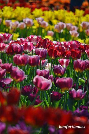 12-05-01-tulipan-09.jpg