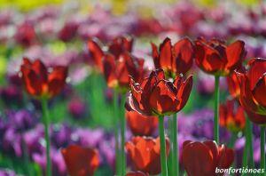 12-05-01-tulipan-10.jpg