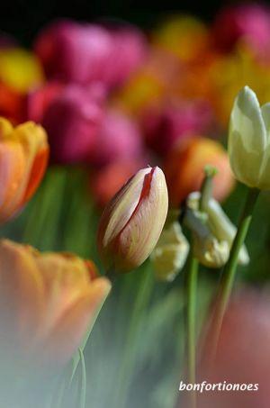 12-05-01-tulipan-11.jpg