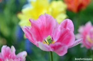 12-05-01-tulipan-12.jpg