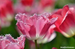 12-05-01-tulipan-13.jpg