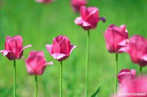 12-05-01-tulipan-14.jpg